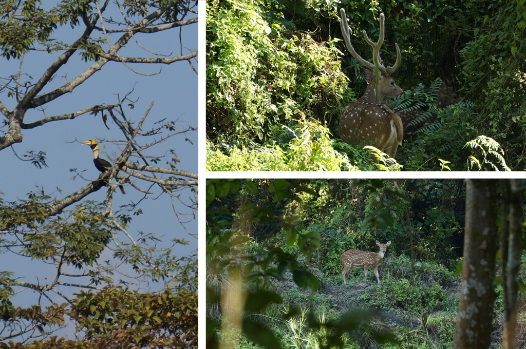 (L) Great hornbill. (TR) Male Chital or spotted deer. (BR) Female Chital or spotted deer